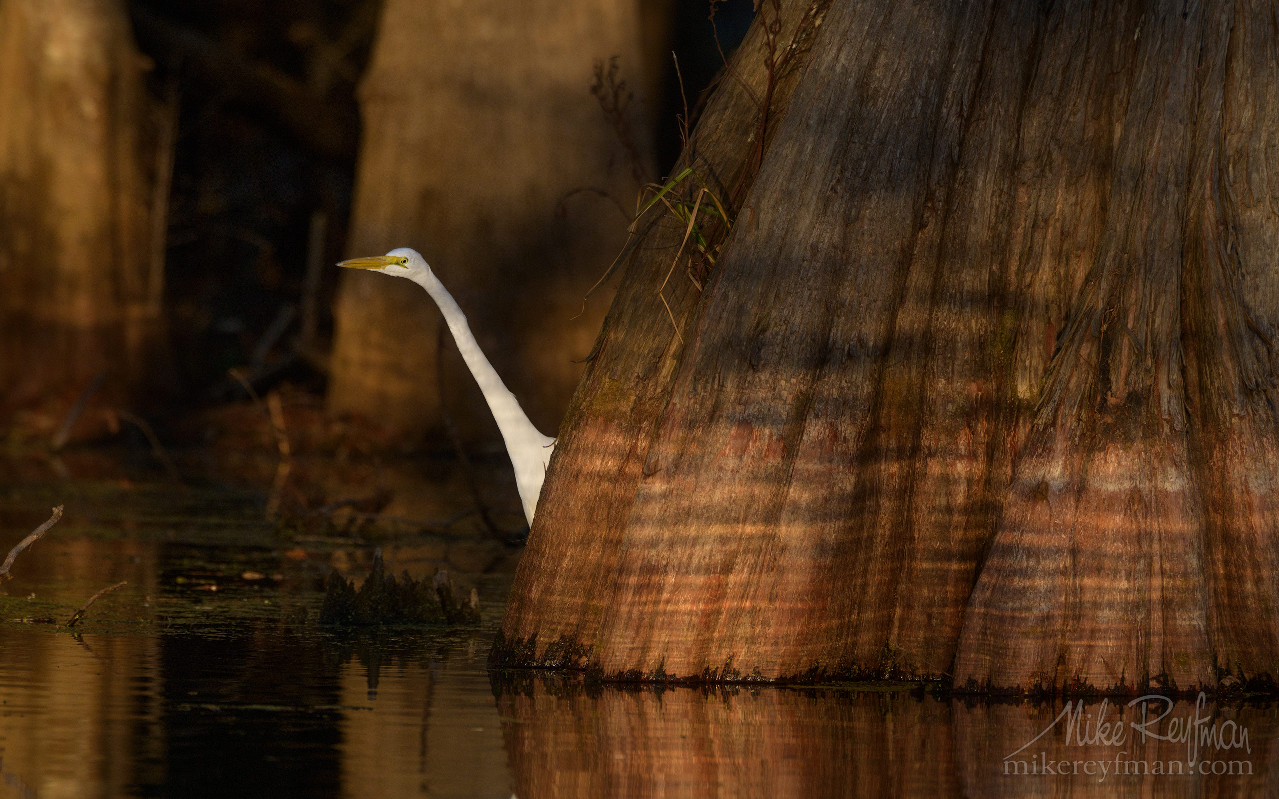 Great Egret with the buttressed trunks of Bald Cypress and Tupelo trees in the background. Lake Martin, Louisiana, US 068-LT1-50A4076.jpg - Bold Cypress and Tupelo Trees in the swamps of Atchafalaya River Basin. Caddo, Martin and Fousse Lakes. Texas/Louisiana, USA. - Mike Reyfman Photography