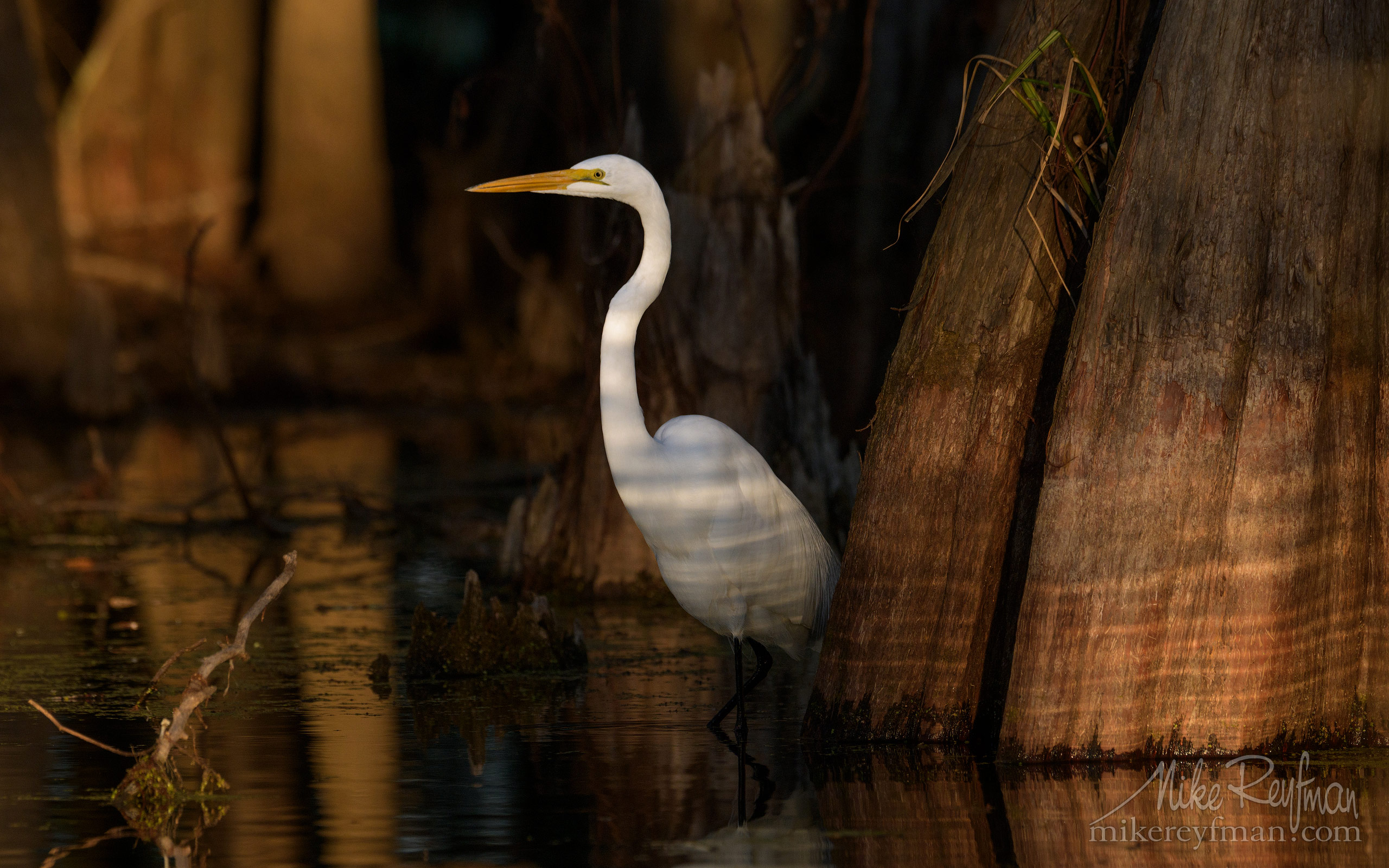 Great Egret with the buttressed trunks of Bald Cypress and Tupelo trees in the background. Lake Martin, Louisiana, US 069-LT1-50A4085.jpg - Bold Cypress and Tupelo Trees in the swamps of Atchafalaya River Basin. Caddo, Martin and Fousse Lakes. Texas/Louisiana, USA. - Mike Reyfman Photography