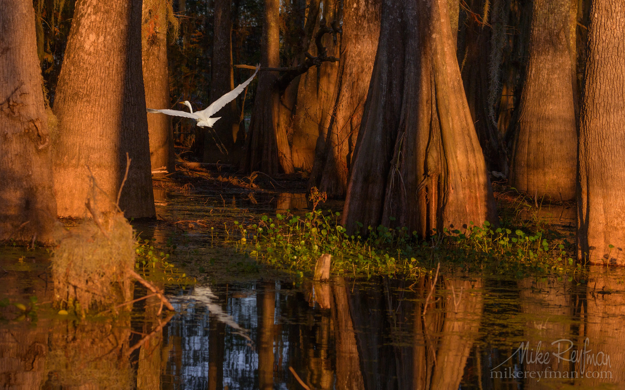 Great Egret with the buttressed trunks of Bald Cypress and Tupelo trees in the background. Lake Martin, Louisiana, US 072-LT1-50A4115.jpg - Bold Cypress and Tupelo Trees in the swamps of Atchafalaya River Basin. Caddo, Martin and Fousse Lakes. Texas/Louisiana, USA. - Mike Reyfman Photography