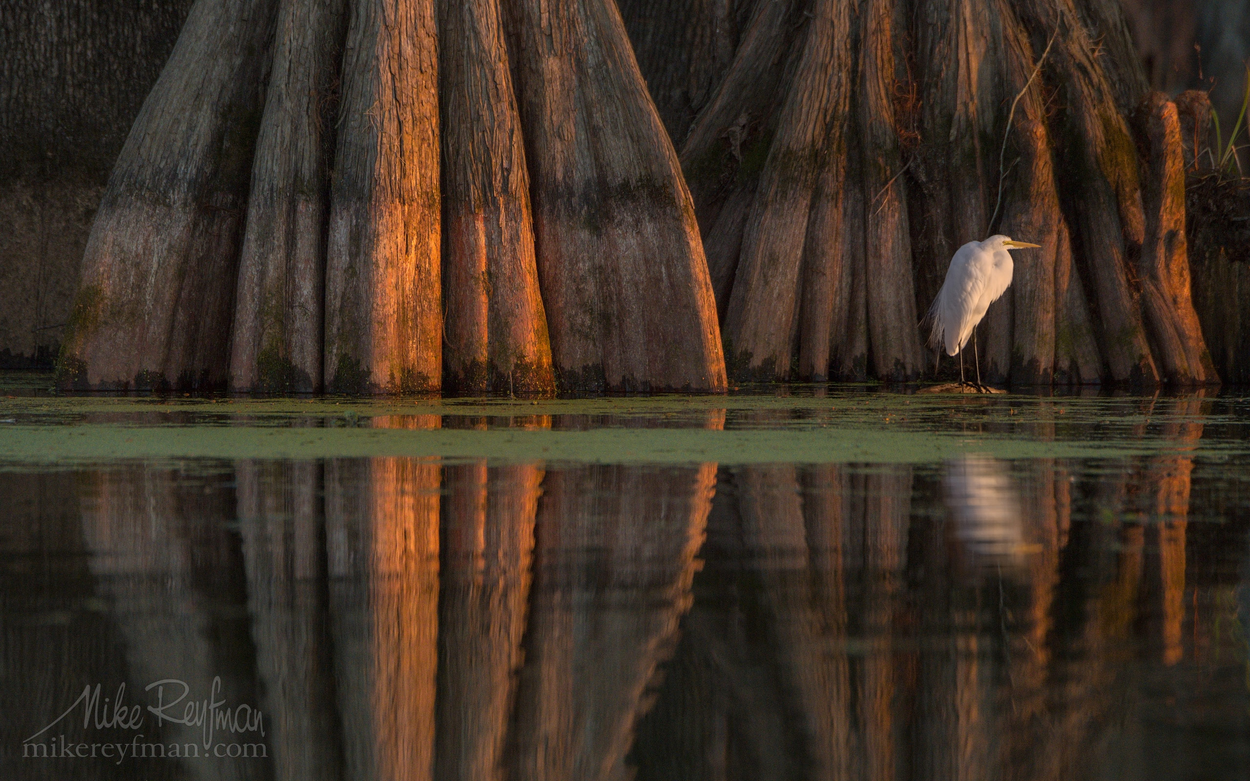 Great Egret with the buttressed trunks of Bald Cypress and Tupelo trees in the background. Lake Martin, Louisiana, US 073-LT1-50A4183.jpg - Bold Cypress and Tupelo Trees in the swamps of Atchafalaya River Basin. Caddo, Martin and Fousse Lakes. Texas/Louisiana, USA. - Mike Reyfman Photography