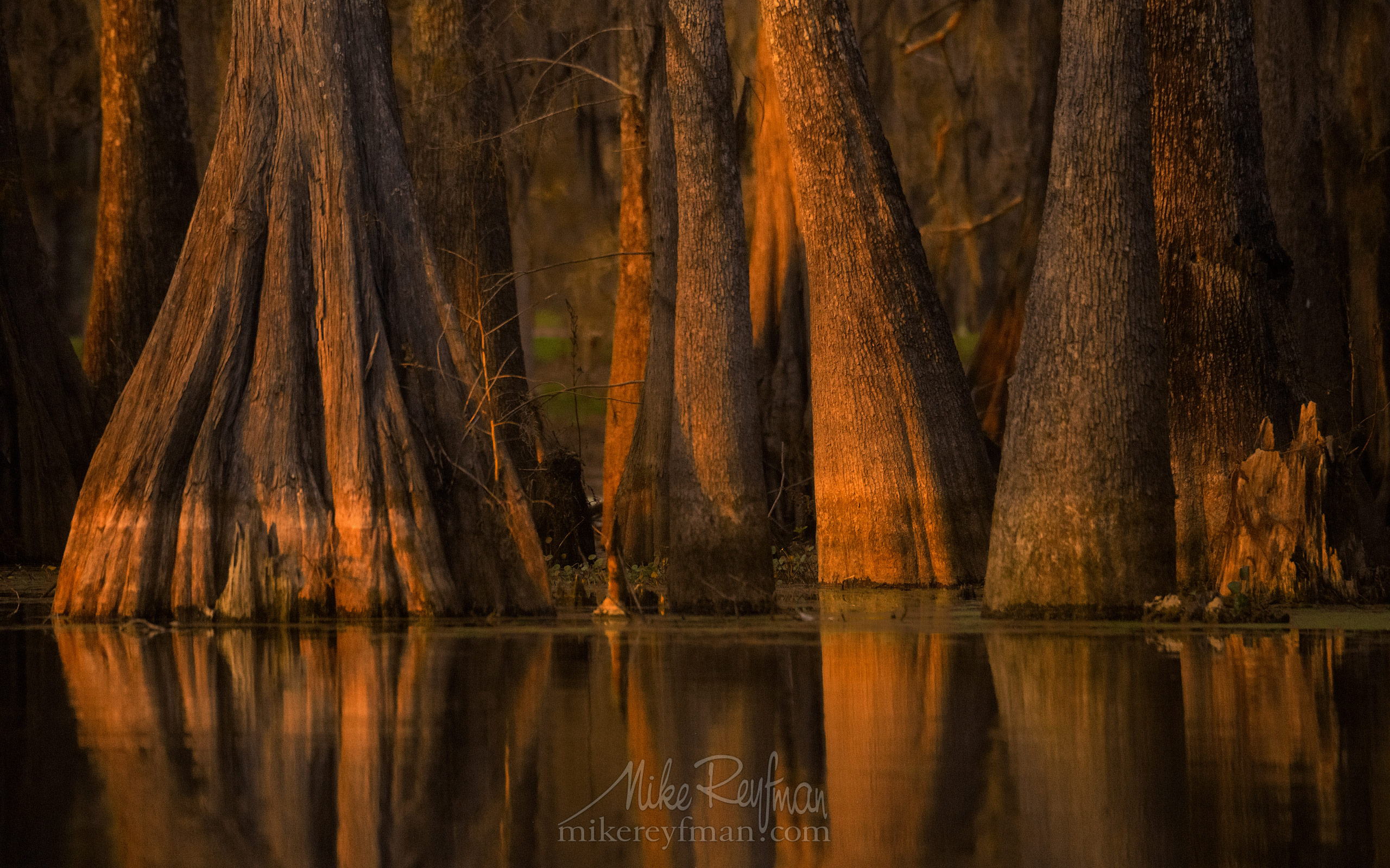 Buttressed trunks of Bald Cypress and Tupelo trees reflecting in the water. Lake Martin, Louisiana, US 075-LT1-50A2164.jpg - Bold Cypress and Tupelo Trees in the swamps of Atchafalaya River Basin. Caddo, Martin and Fousse Lakes. Texas/Louisiana, USA. - Mike Reyfman Photography