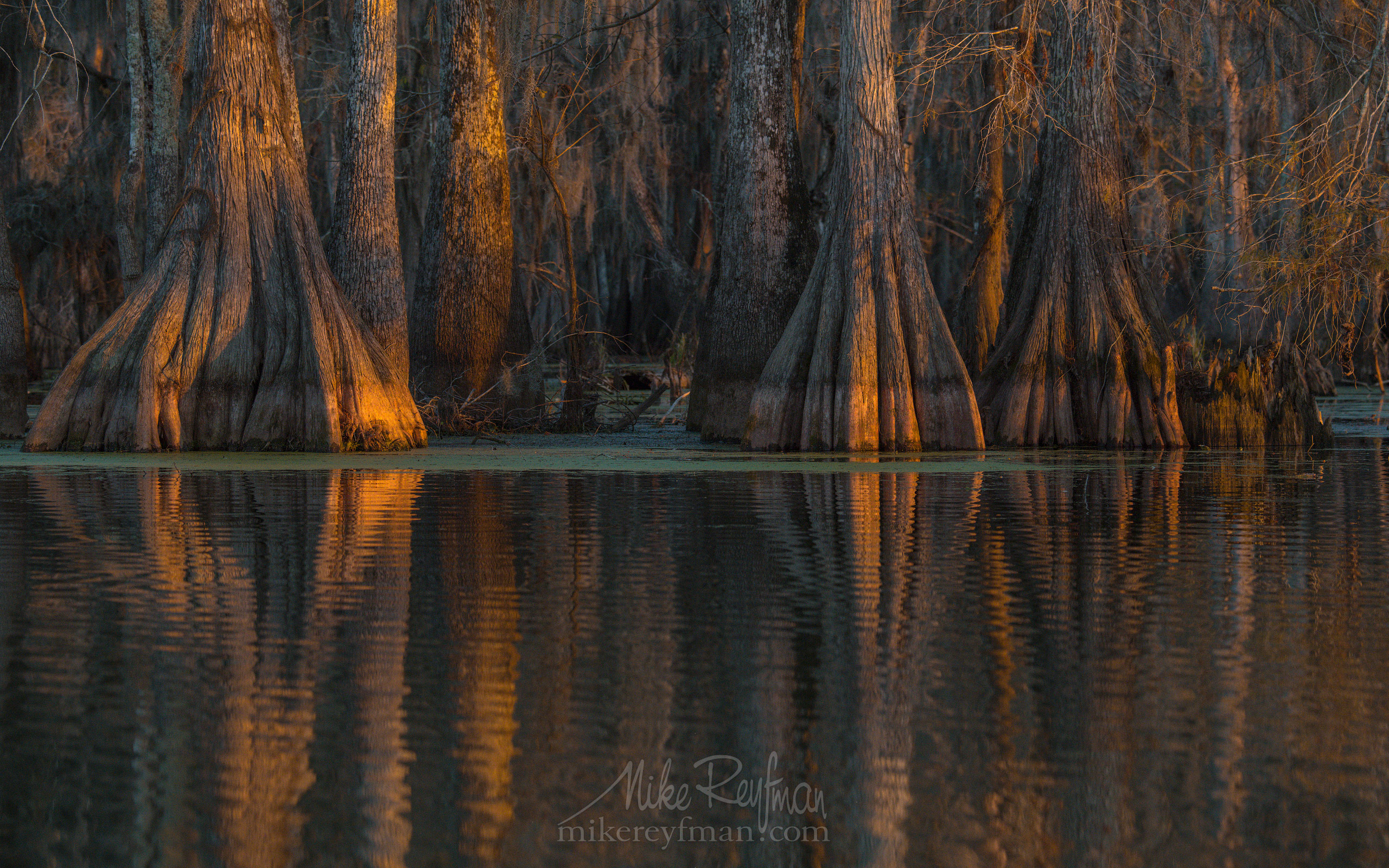 Buttressed trunks of Bald Cypress and Tupelo trees reflecting in the water. Lake Martin, Louisiana, US 076-LT1-50A4177.jpg - Bold Cypress and Tupelo Trees in the swamps of Atchafalaya River Basin. Caddo, Martin and Fousse Lakes. Texas/Louisiana, USA. - Mike Reyfman Photography