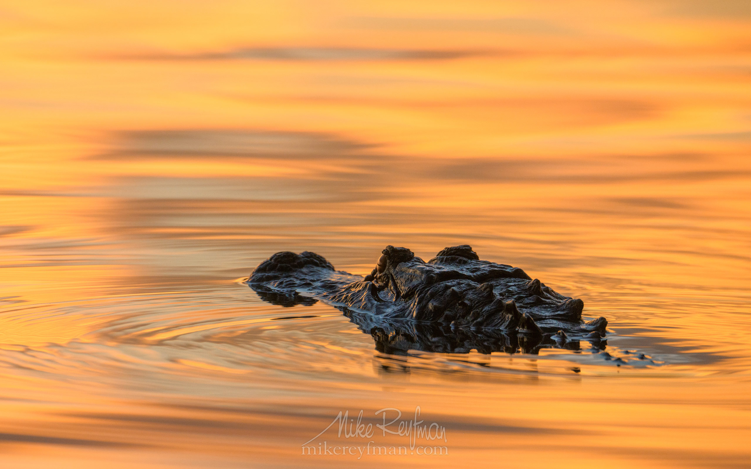 American Alligator in golden light at sunset. Lake Martin, Louisiana, US 085-LT1-50A4618.jpg - Bold Cypress and Tupelo Trees in the swamps of Atchafalaya River Basin. Caddo, Martin and Fousse Lakes. Texas/Louisiana, USA. - Mike Reyfman Photography