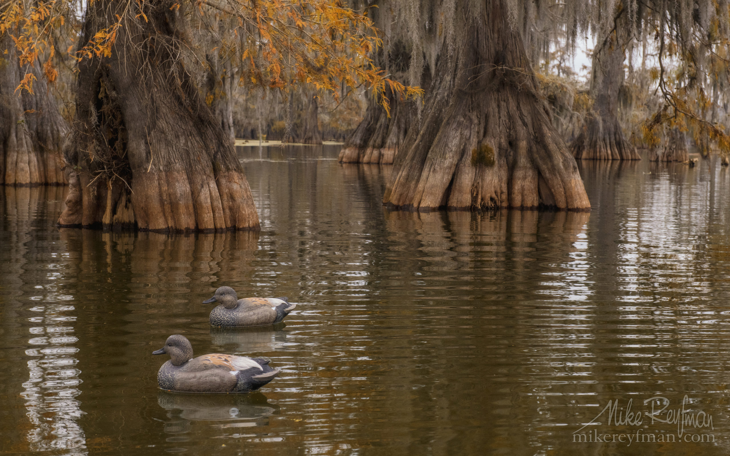 Duck decoys and Bald Cypress Trees. Lake Martin, Louisiana, US 089-LT1-50A2514.jpg - Bold Cypress and Tupelo Trees in the swamps of Atchafalaya River Basin. Caddo, Martin and Fousse Lakes. Texas/Louisiana, USA. - Mike Reyfman Photography