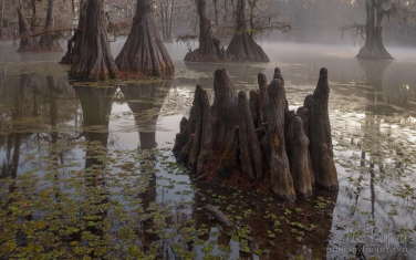 Swamp-King's-Crown.-Bald-Cypress-trees-in-the-swamp.-Foggy-morning-on-Caddo-Lake,-Texas,-US