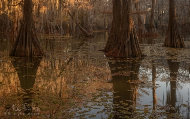 009-LT1-50A2800.jpg Bald Cypress trees in the swamp. Caddo Lake, Texas, US