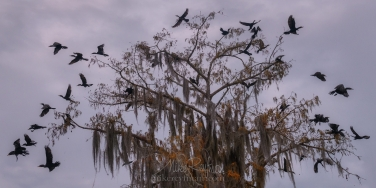 The-Exploding-Tree.-A-flock-of-Double-crested-Cormorants-taking-off-from-a-Bald-Cypress-tree.-Lake-Martin,-Louisiana,-US