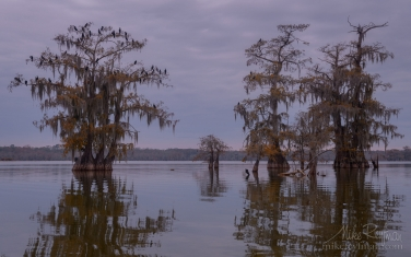 A-flock-of-Double-crested-Cormorants-on-the-Bald-Cypress-tree.-Lake-Martin,-Louisiana,-US
