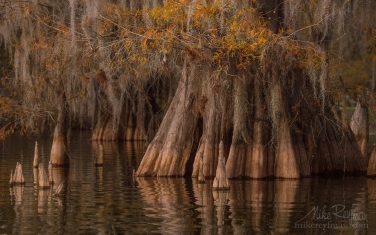Spanish-Moss-on-the-Bald-Cypress-trees.-Lake-Martin,-Louisiana,-US