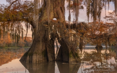 Spanish-Moss-on-the-Bald-Cypress-trees.-Lake-Fausse,-Louisiana,-US