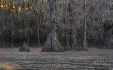 Bald-Cypress-trees-in-the-swamp.-Foggy-morning-on-Caddo-Lake,-Texas,-US