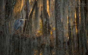 Great-Blue-Heron-in-the-covered-with-Spanish-Moss-Bald-Cypress-Trees.-Caddo-Lake,-Texas,-US
