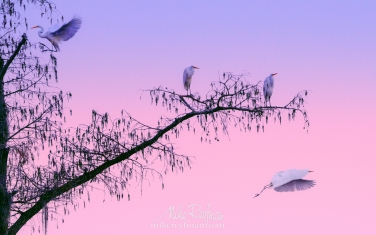 Great-Egrets-on-Bald-Cypress-tree-branch-after-sunset.-Caddo-Lake,-Texas,-US