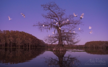 Great-Egrets-on-Bald-Cypress-tree-after-sunset.-Caddo-Lake,-Texas,-US