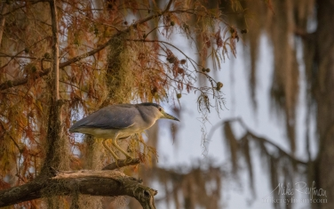 Black-Crowned-Night-Heron-in-the-Bald-Cypress-tree.-Lake-Martin,-Louisiana,-US