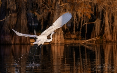 066-LT1-50A4056.jpg Great Egret with the buttressed trunks of Bald Cypress and Tupelo trees in the background. Lake Martin, Louisiana, US