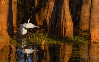 Great-Egret-with-the-buttressed-trunks-of-Bald-Cypress-and-Tupelo-trees-in-the-background.-Lake-Martin,-Louisiana,-US