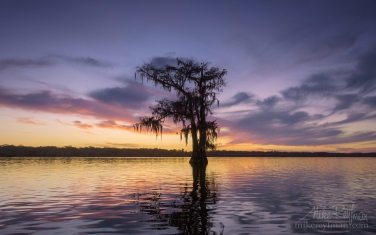 Bald-Cypress-tree-covered-in-Spanish-Moss-at-suset.-Lake-Martin,-Louisiana,-US