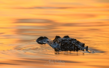 American-Alligator-in-golden-light-at-sunset.-Lake-Martin,-Louisiana,-US