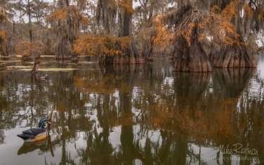 Duck-decoys-and-Bald-Cypress-Trees.-Lake-Martin,-Louisiana,-US