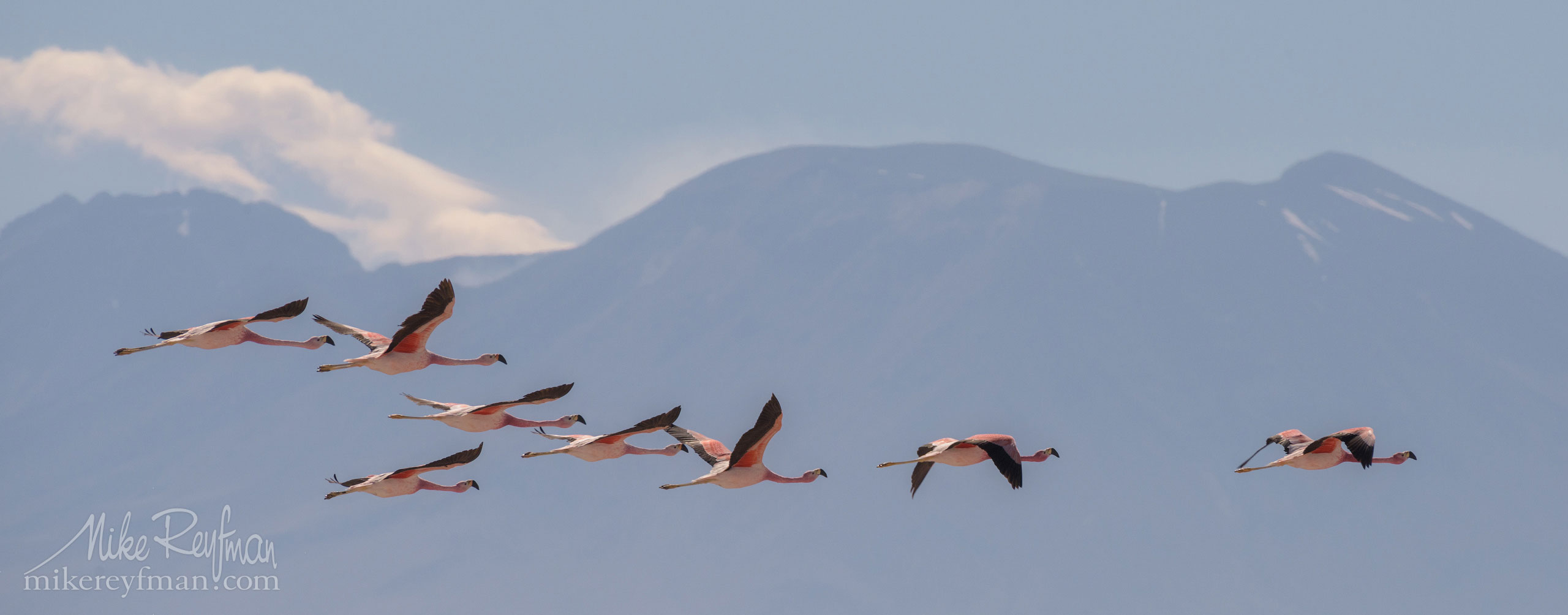 Andean Flamingo (Phoenicoparrus andinus). Salar de Atacama, Laguna Chaxa, San Pedro de Atacama, Atacama Desert, Antofagasta Region, Chile AA1-D1D9558 - Atacama and Altiplano. The Driest Desert and The High Plain - Mike Reyfman Photography