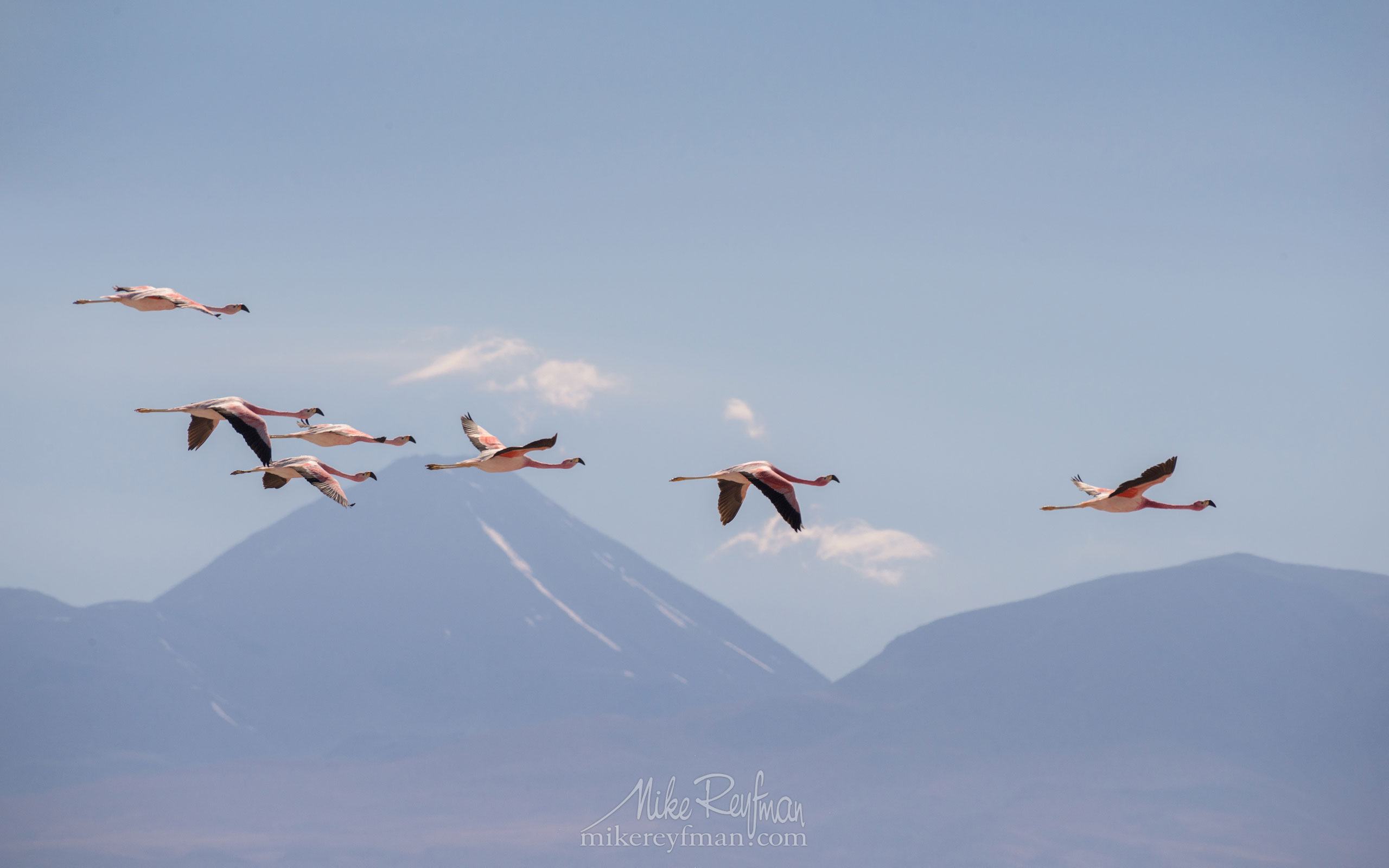 Andean Flamingo (Phoenicoparrus andinus) and Licancabur stratovolcano. Salar de Atacama, Laguna Chaxa, San Pedro de Atacama, Atacama Desert, Antofagasta Region, Chile AA1-D1D9552 - Atacama and Altiplano. The Driest Desert and The High Plain - Mike Reyfman Photography