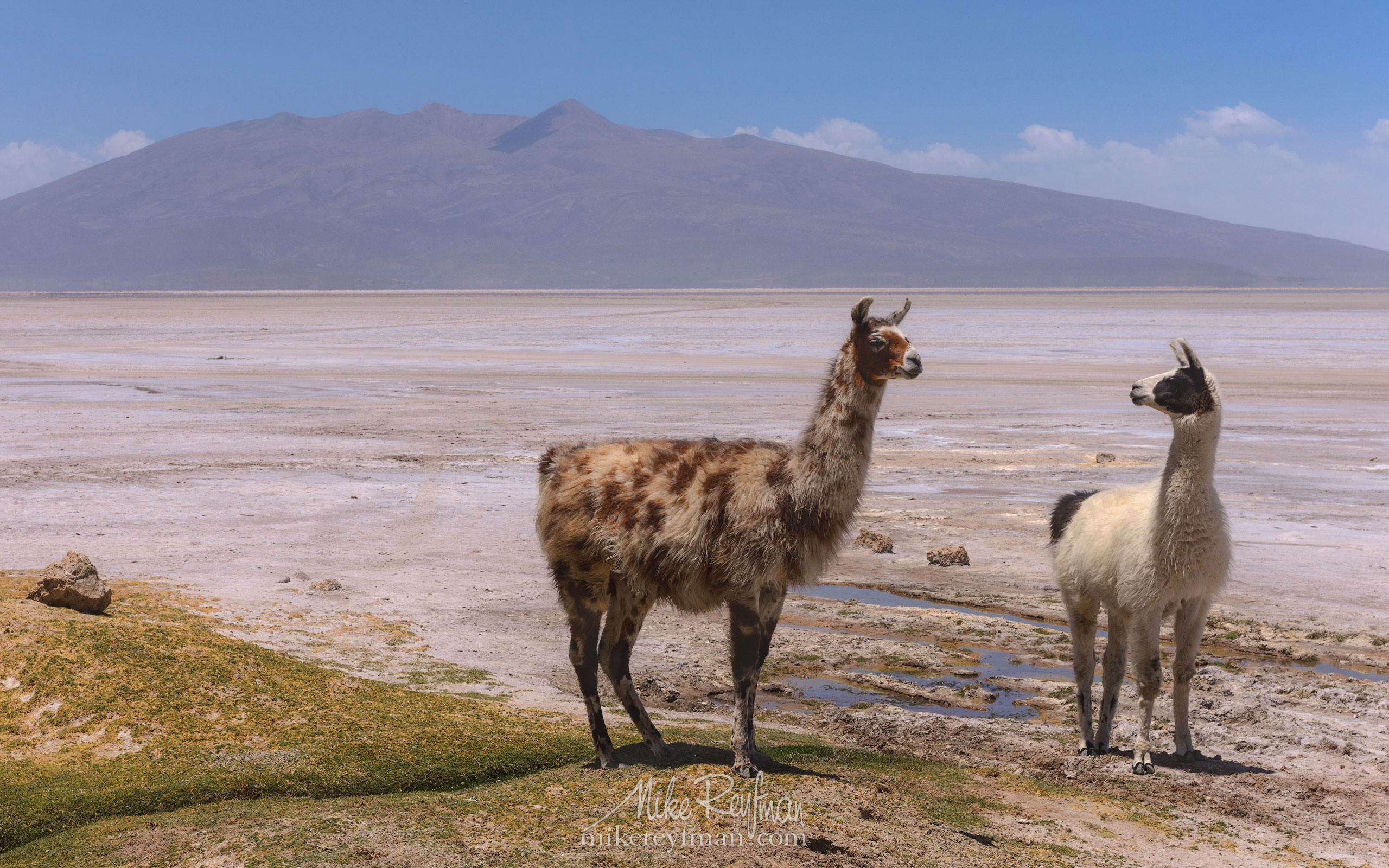 Member of the Camelid, the Llama, is the national animal of Bolivia. Altiplano, Bolivia. AA1-AIR2502 - Atacama and Altiplano. The Driest Desert and The High Plain - Mike Reyfman Photography