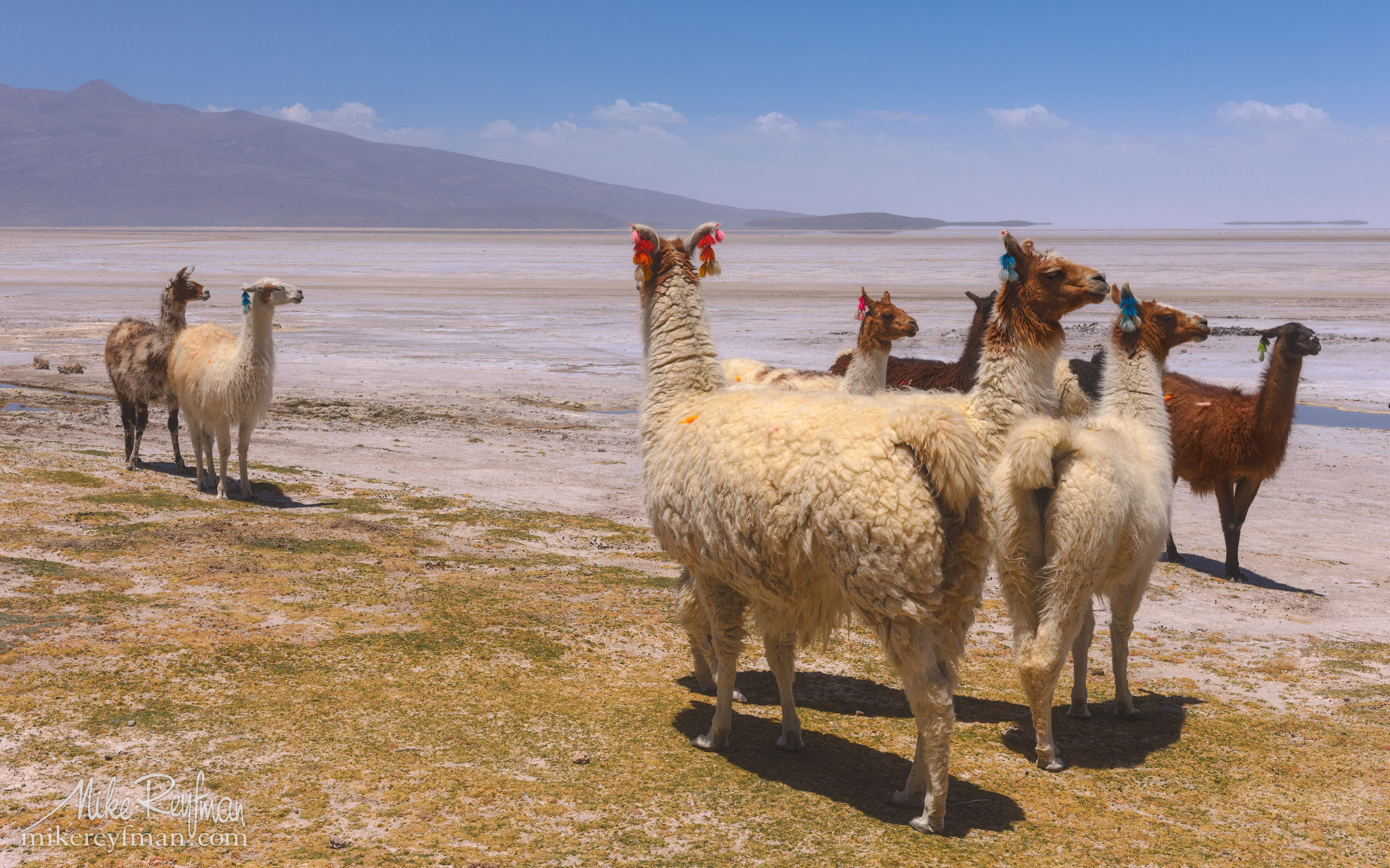 Member of the Camelid, the Llama, is the national animal of Bolivia. Altiplano, Bolivia. AA1-AIR2495 - Atacama and Altiplano. The Driest Desert and The High Plain - Mike Reyfman Photography