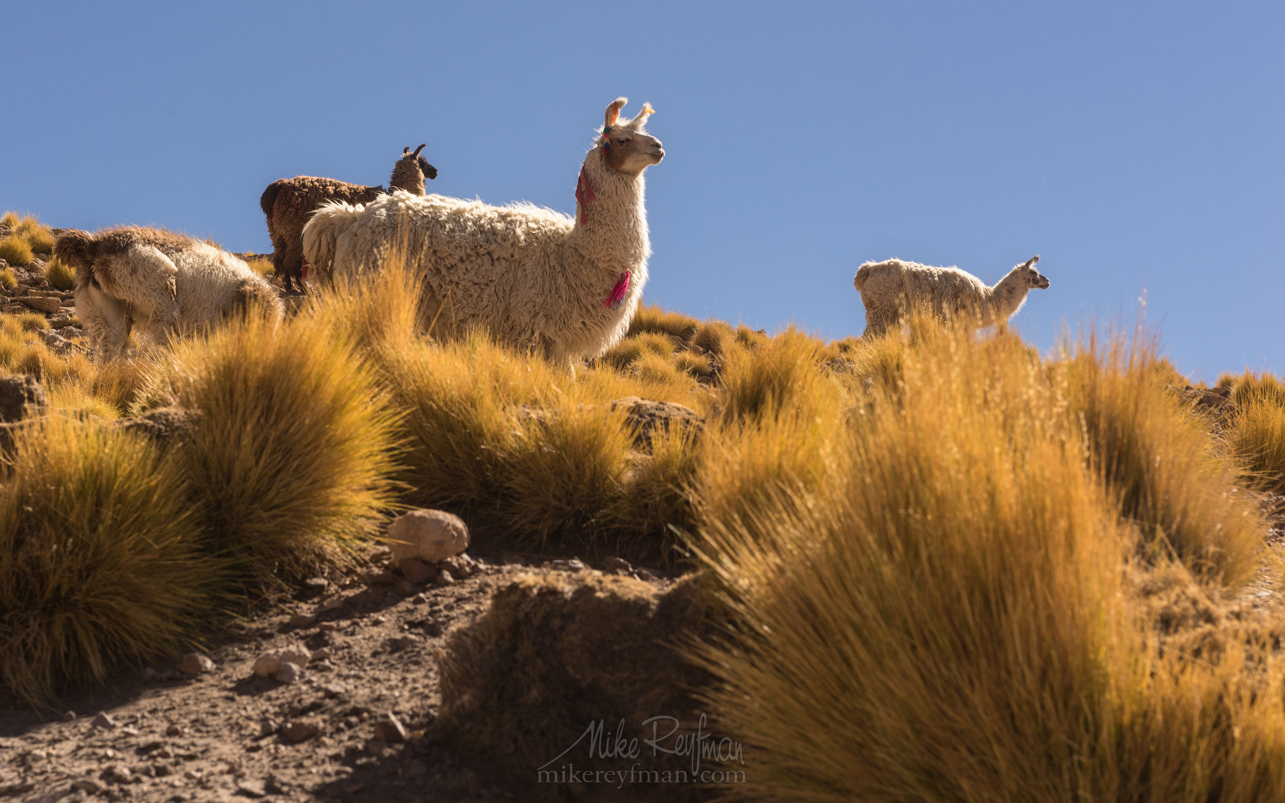 Llamas. San Pedro de Atacama, Atacama Desert, Antofagasta Region, Chile AA1-D1D8988 - Atacama and Altiplano. The Driest Desert and The High Plain - Mike Reyfman Photography