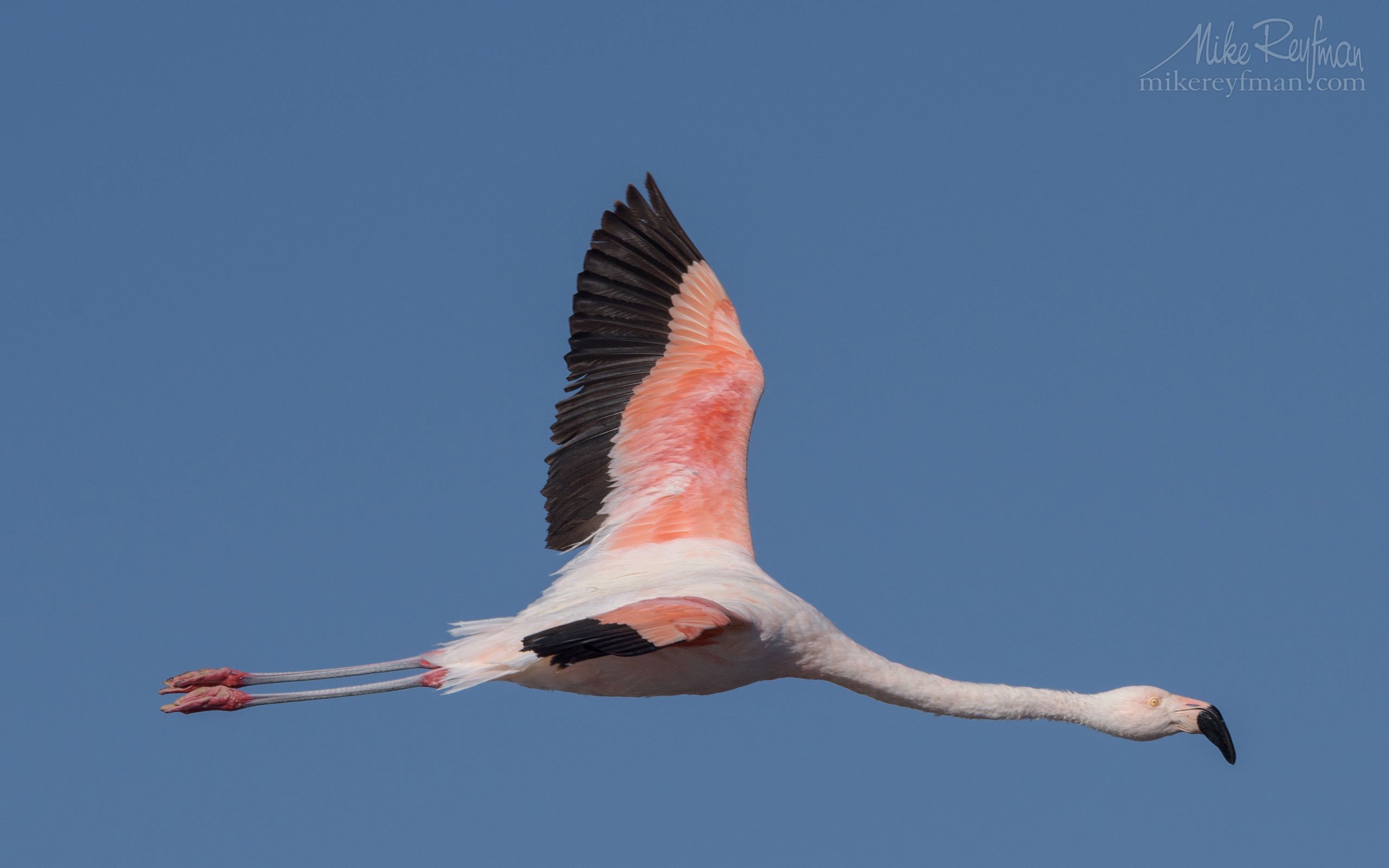 Chilean Flamingo (Phoenicopterus chilensis). Salar de Atacama, Laguna Chaxa, San Pedro de Atacama, Atacama Desert, Antofagasta Region, Chile AA1-D1D9441 - Atacama and Altiplano. The Driest Desert and The High Plain - Mike Reyfman Photography