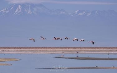 AA1-D1D9518 Andean Flamingo (Phoenicoparrus andinus) and Licancabur stratovolcano. Salar de Atacama, Laguna Chaxa, San Pedro de Atacama, Atacama Desert, Antofagasta Region, Chile