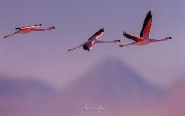 AA1-AIR1298 Andean Flamingo (Phoenicoparrus andinus) and Licancabur stratovolcano. Salar de Atacama, Laguna Chaxa, San Pedro de Atacama, Atacama Desert, Antofagasta Region, Chile