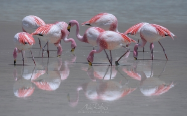 James's-(or-Puna)-Flamingos-(Phoenicoparrus-jamesi)-on-the-Laguna-Hedionda.-Altiplano,-Bolivia