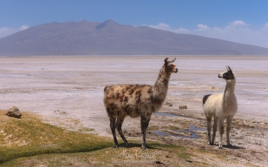 Member-of-the-Camelid,-the-Llama,-is-the-national-animal-of-Bolivia.-Altiplano,-Bolivia.
