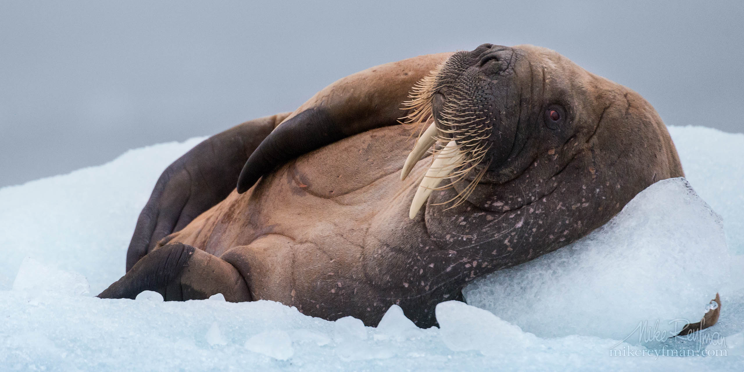 Laid-back. Very relaxed walrus resting on an ice floe in Svalbard (Spitsbergen) P12-MR4SA3496 - Selected panoramic images with 2:1 aspect ratio - Mike Reyfman Photography