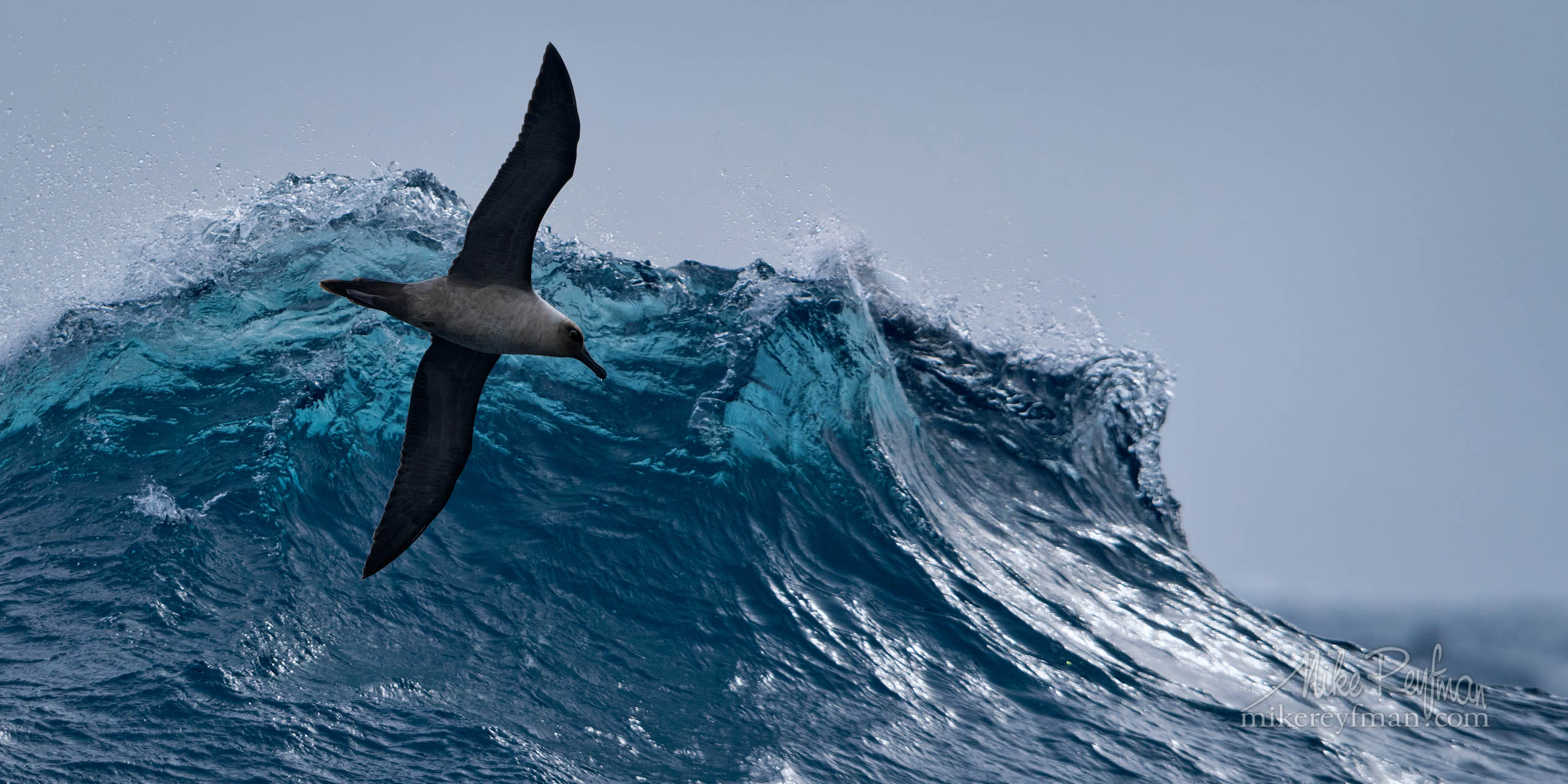 Drake Passage Aerobatics. Light-mantled Sooty Albatrosse (Phoebetria palpebrata) riding waves in Drake Passage. P12-MRD1A0707 - Selected panoramic images with 2:1 aspect ratio - Mike Reyfman Photography