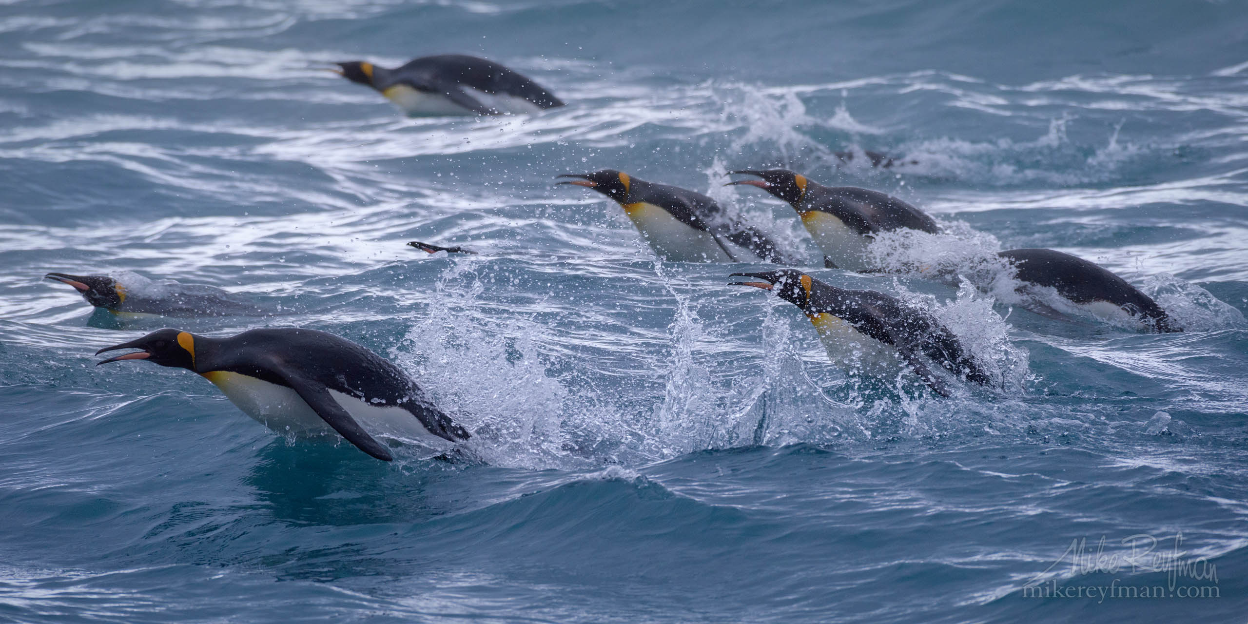 King Penguin foraging at sea near South Georgia Island, South Atlantic P12-MRD1D5313 - Selected panoramic images with 2:1 aspect ratio - Mike Reyfman Photography