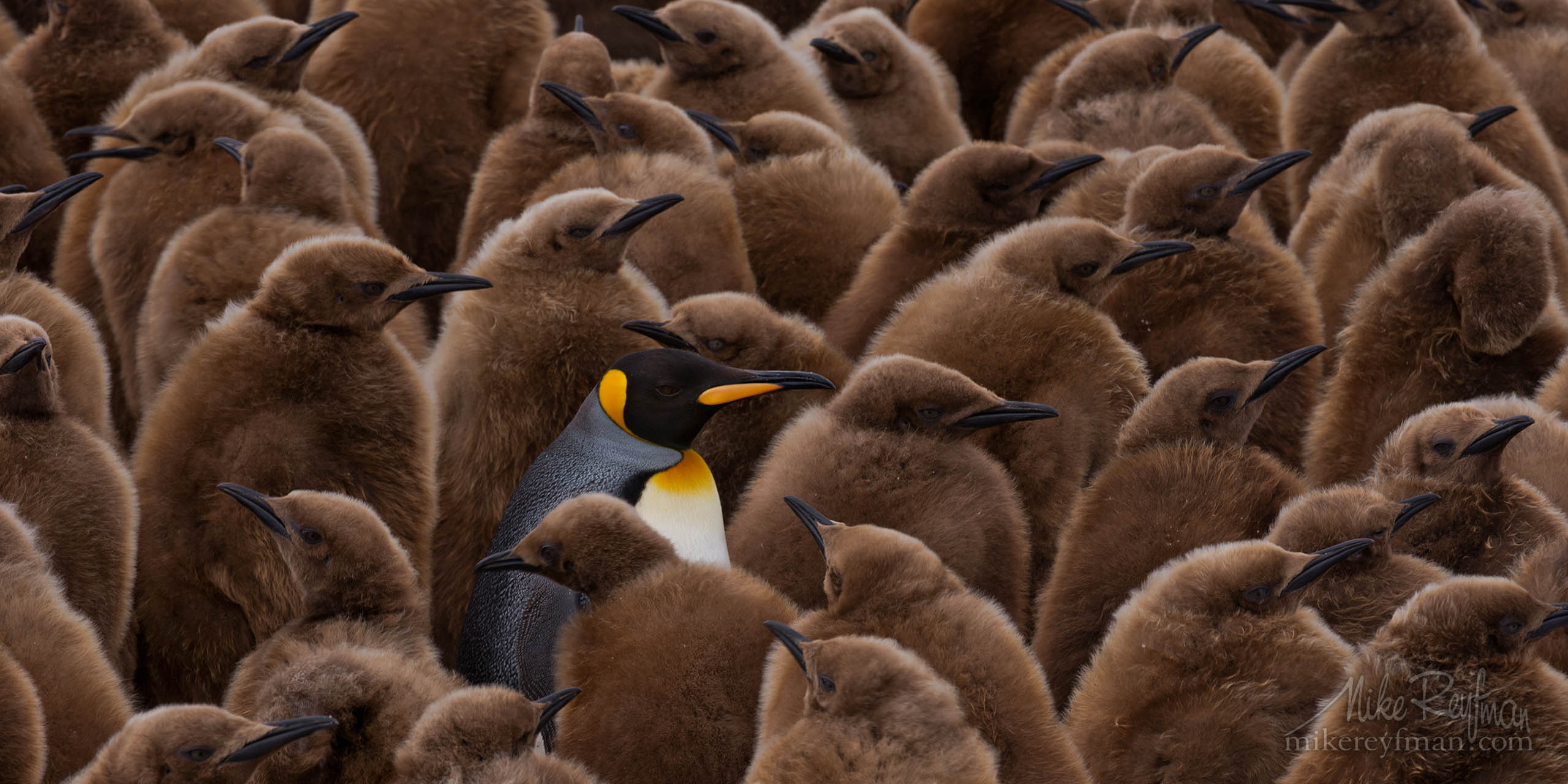 Adult King Penguin (Aptenodytes patagonicus) walking among youngsters and looking for its chick to feed it. King Penguin Creche. Salisbury Plain, South Georgia, Sub-Antarctic P1:2-MRD4C3356 - Selected panoramic images with 2:1 aspect ratio - Mike Reyfman Photography