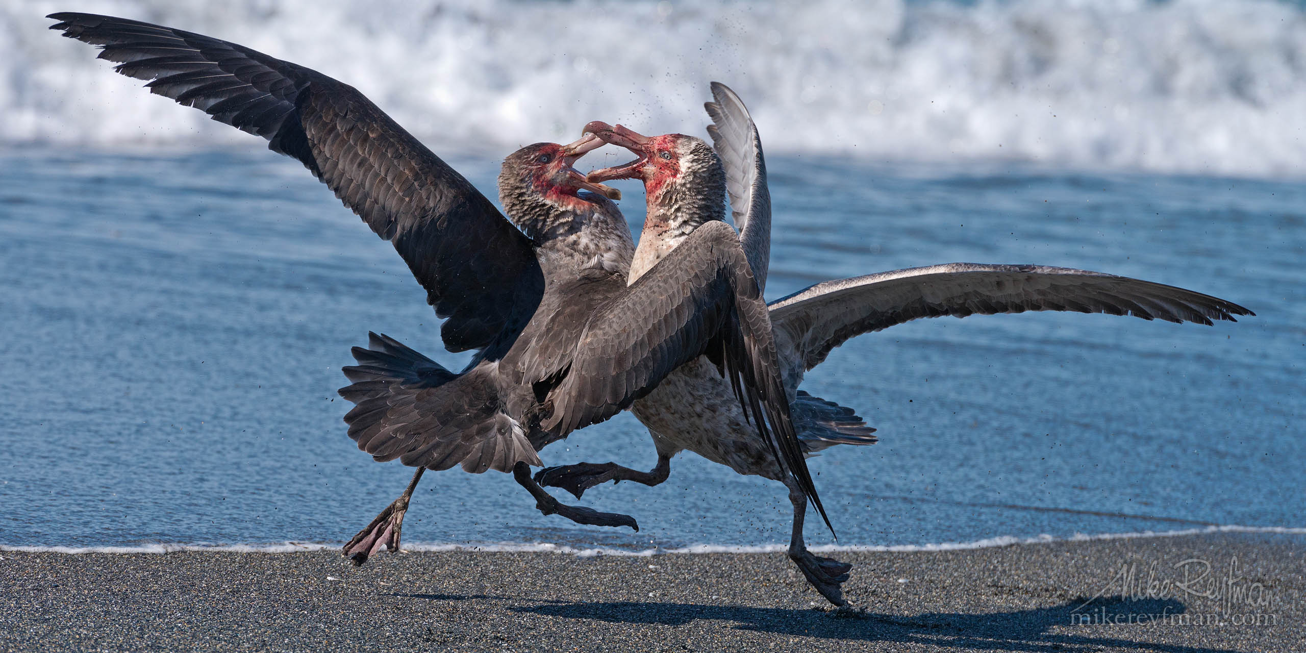 Clash of the Giants. Antarctic Giant Petrels (Macronectes giganteus) fighting on St. Andrews Bay, South Georgia, Sub-Antarctic. P12-MRD8A5514 - Selected panoramic images with 2:1 aspect ratio - Mike Reyfman Photography