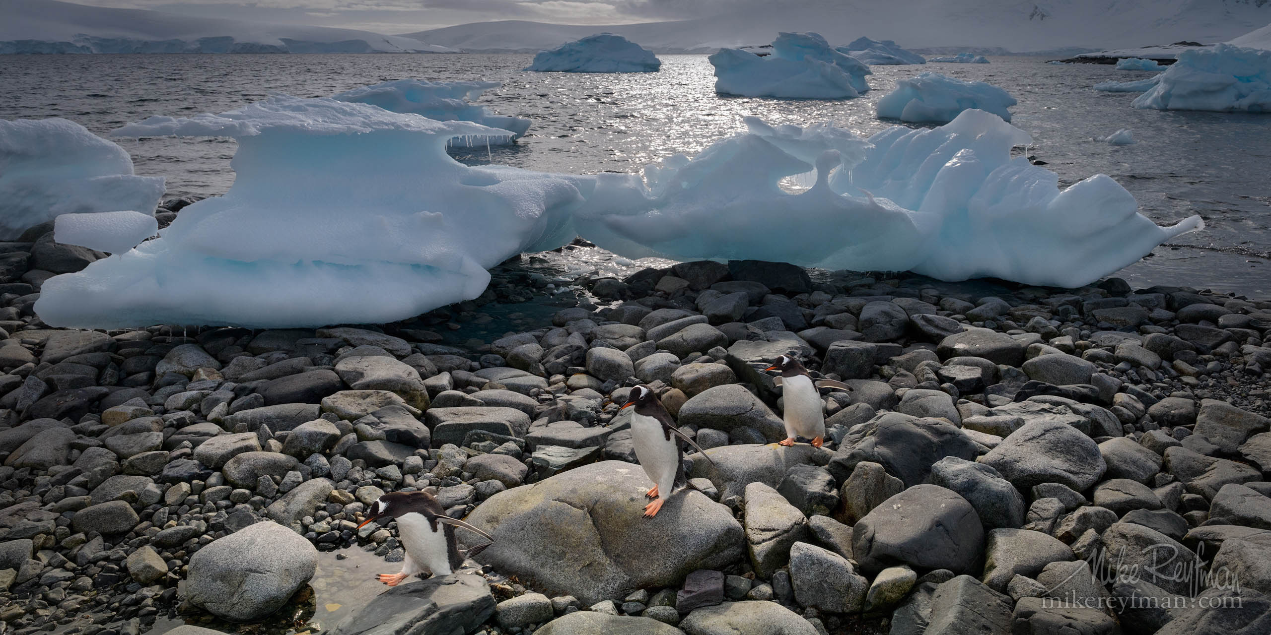 Gentoo Penguin walking ashore after foraging at sea. Port Lockroy Harbor, Wiencke Island, Palmer Archipelago, Antarctic P12-MRD8D7179-75-81 - Selected panoramic images with 2:1 aspect ratio - Mike Reyfman Photography