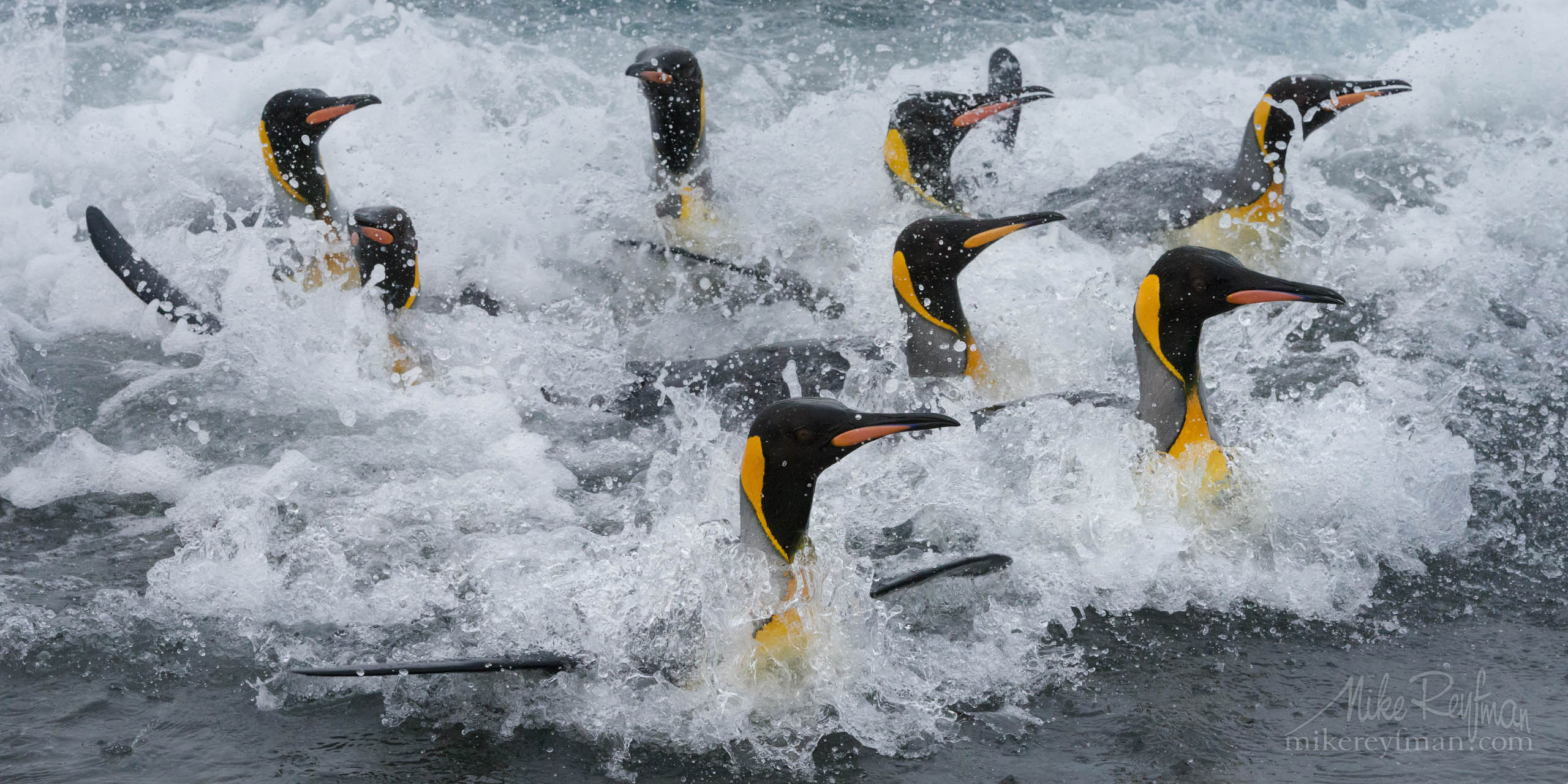 King Penguin (Aptenodytes patagonicus) coming ashore after foraging at sea. Salisbury Plain, South Georgia Island, South Atlantic P12MRD8E1951 - Selected panoramic images with 2:1 aspect ratio - Mike Reyfman Photography