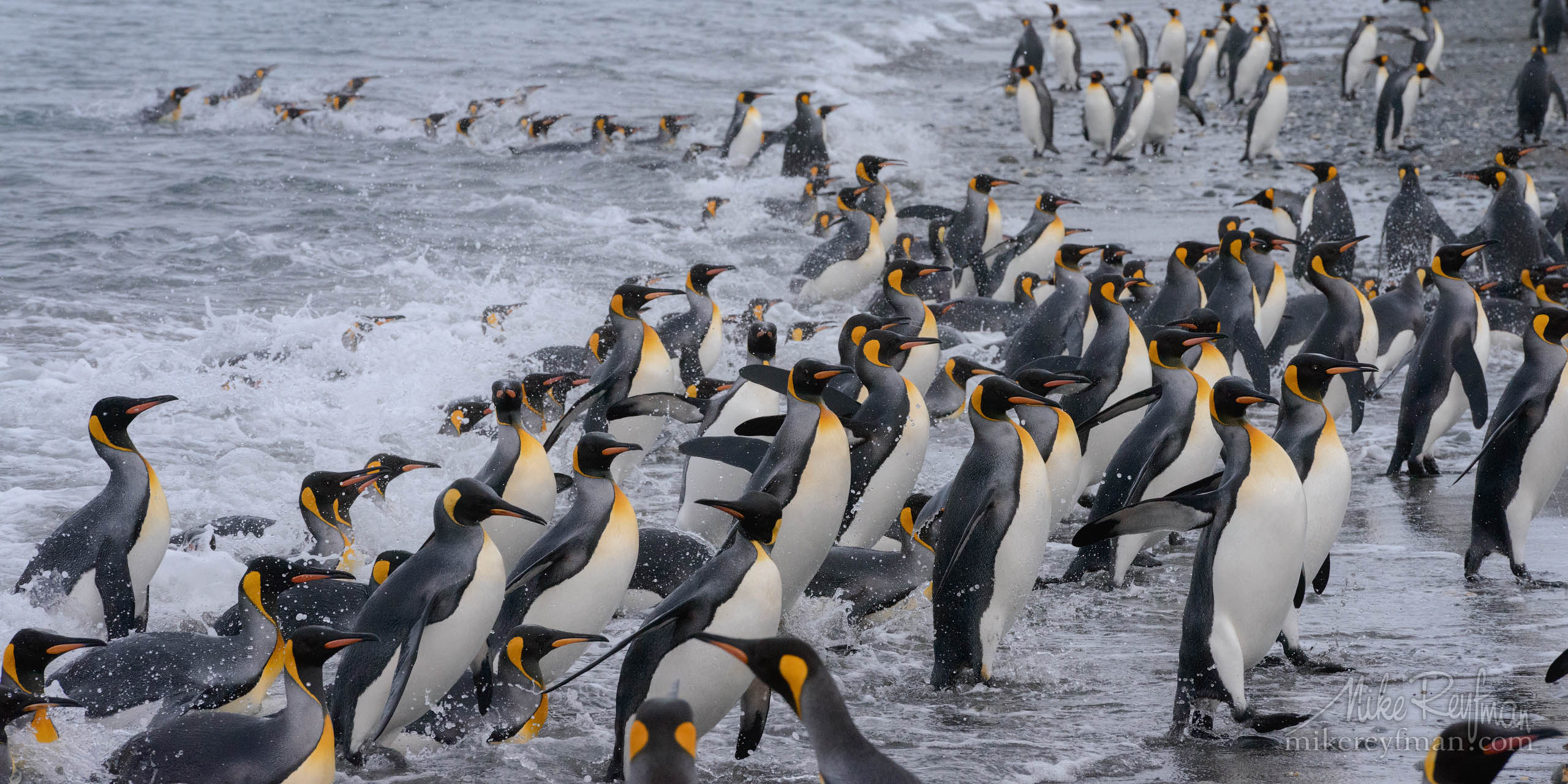 King Penguin (Aptenodytes patagonicus) crowding ashore after foraging at sea. Salisbury Plain, South Georgia Island, South Atlantic P12-MRD8E1966 - Selected panoramic images with 2:1 aspect ratio - Mike Reyfman Photography