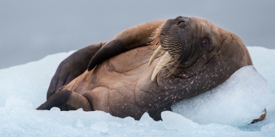 Laid-back.-Very-relaxed-walrus-resting-on-an-ice-floe-in-Svalbard-(Spitsbergen)