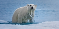 Polar-Bear-climbs-onto-an-ice-floe-along-Spitsbergen-coast.-Svalbard,-Norway.
