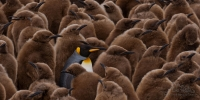 Adult-King-Penguin-(Aptenodytes-patagonicus)-walking-among-youngsters-and-looking-for-its-chick-to-feed-it.-King-Penguin-Creche.-Salisbury-Plain,-South-Georgia,-Sub-Antarctic