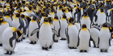 King-Penguin-(Aptenodytes-patagonicus)-Colony,-Salisbury-Plain,-South-Georgia,-Sub-Antarctic
