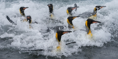 King-Penguin-(Aptenodytes-patagonicus)-coming-ashore-after-foraging-at-sea.-Salisbury-Plain,-South-Georgia-Island,-South-Atlantic