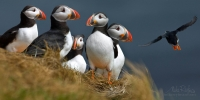 Gentleman-Club.-Atlantic-Puffins-(Fratercula-arctica)-colony-at-Dyrholaey-in-Southern-Iceland.